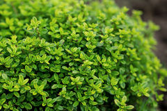 Трава тимиана в саде Стоковые Фотографии RF