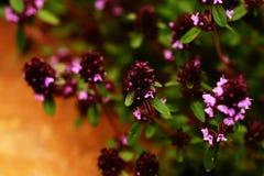 Трава тимиана в цветени Предпосылка лета Стоковые Фото