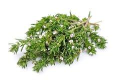Трава тимиана свежая Стоковые Фотографии RF