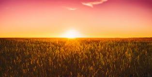 Трава луга в желтом солнечном свете на поздним летом или предыдущей осени Стоковая Фотография
