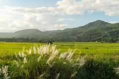 Трава луга с взглядом поля и природы риса Стоковая Фотография RF