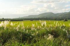Трава луга с взглядом поля и природы риса Стоковое Изображение RF