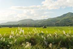 Трава луга с взглядом поля и природы риса Стоковые Фото