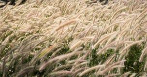 Трава дунутая ветром стоковая фотография rf