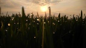 Трава флюидов Natuars зеленая с росой и обрабатывать землю падения воды утро захода солнца восхода солнца стоковые фотографии rf