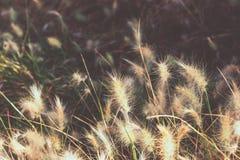 Трава фонтана зайчика пушистого карлика бургундская в парке Испании Шаблон обоев, вдохновляющее изображение падения осени Стоковые Фотографии RF