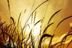 Трава фонтана или трава пера конец вверх Стоковые Изображения RF