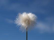 трава хлопка Стоковые Изображения