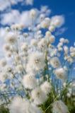 Трава хлопка Стоковые Изображения RF