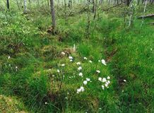 Трава хлопка Стоковое фото RF