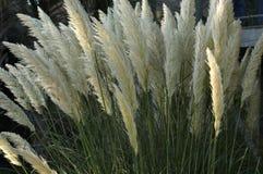 трава цветеня высокорослая стоковое изображение rf