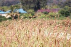 Трава цветка имеет солнце светила вечеру Стоковое Изображение