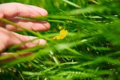 Трава человеческого зеленого цвета касания руки сочная стоковая фотография