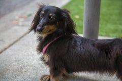 Трава черной коричневой улицы собаки барсука зеленая Стоковые Фотографии RF