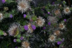 Трава чертополоха в цветени Стоковые Фото
