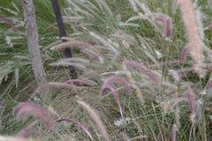 Трава щетки Thistle Стоковые Фотографии RF