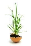 трава яичка Стоковая Фотография