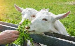 Трава для белых коз Стоковые Изображения RF