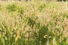 Трава blossoming Свет от солнца в утре Стоковые Фото