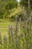 Трава Cardiaca Leonurus Стоковое Изображение