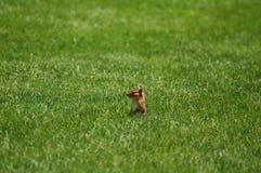 трава chipmunk Стоковые Изображения RF