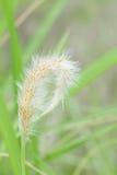 Трава Cogon в одичалом. Стоковые Фото