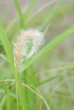Трава Cogon в одичалом. Стоковые Изображения RF