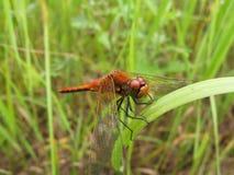 трава dragonfly Стоковая Фотография