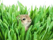 трава gerbil малая стоковая фотография rf