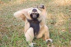 трава gibbon Стоковые Фотографии RF