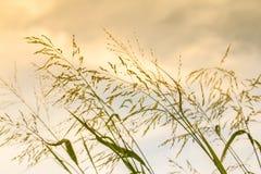Трава Gramineae Стоковые Изображения