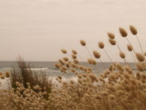 Трава Harestail на пляже стоковое фото rf