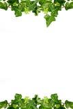 трава hedera рамок dewdrops стоковое изображение