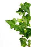 трава hedera dewdrops Стоковое фото RF