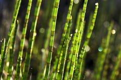 Трава Horsetail Стоковое Изображение RF