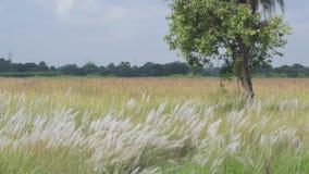 Трава Kans, spontaneum Saccharum, Kolkata, западная Бенгалия, Индия акции видеоматериалы