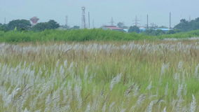 Трава Kans, spontaneum Saccharum, Kolkata, западная Бенгалия, Индия сток-видео