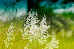 Трава Kans, spontaneum Saccharum, Kolkata, западная Бенгалия, Индия Стоковое Изображение
