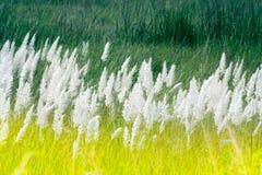 Трава Kans, spontaneum Saccharum, Kolkata, западная Бенгалия, Индия Стоковые Фотографии RF