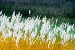 Трава Kans, spontaneum Saccharum, Kolkata, западная Бенгалия, Индия Стоковое Изображение RF