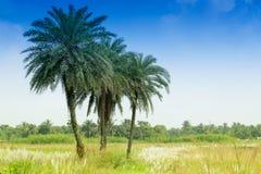 Трава Kans, spontaneum Saccharum, Kolkata, западная Бенгалия, Индия Стоковые Изображения