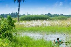 Трава Kans, spontaneum Saccharum, Kolkata, западная Бенгалия, Индия Стоковая Фотография