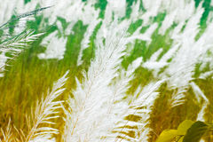 Трава Kans, spontaneum Saccharum, Kolkata, западная Бенгалия, Индия Стоковое Фото