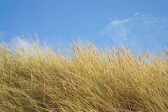 Трава Marram Стоковое Изображение