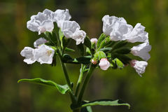 Трава Medunits (mollis Pulmonaria латыни) Стоковое Фото