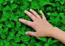 Трава motherwort касания Стоковое фото RF