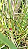 Трава og изображения и ladybird Стоковые Фотографии RF