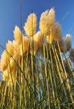 трава pampas Стоковые Фотографии RF