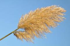 трава pampas Стоковые Изображения
