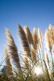 трава pampas Стоковые Фото